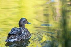 Gräsand Duck Female Scotland fotografering för bildbyråer