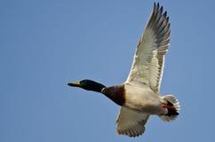 Gräsand Duck Flying i en blå himmel Fotografering för Bildbyråer