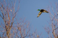 Gräsand Duck Flying Past Autumn Tree arkivfoton