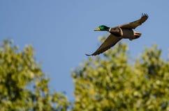 Gräsand Duck Flying Past Autumn Trees arkivfoton