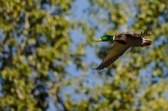 Gräsand Duck Flying Past Autumn Trees arkivbilder