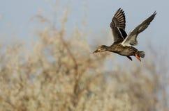 Gräsand Duck Flying Past Autumn Trees fotografering för bildbyråer