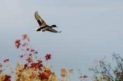 Gräsand Duck Flying Past Autumn Trees arkivfoto