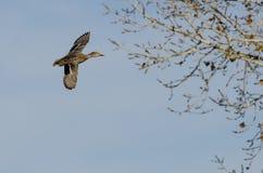 Gräsand Duck Flying Past Autumn Trees royaltyfri bild