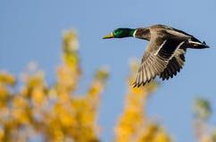 Gräsand Duck Flying Past den guld- Autumn Trees royaltyfri bild