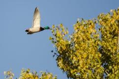 Gräsand Duck Flying Past en Autumn Tree arkivbild