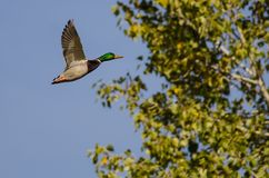 Gräsand Duck Flying Past en Autumn Tree royaltyfria bilder
