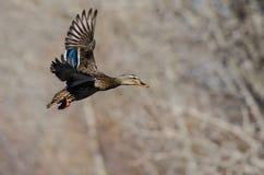 Gräsand Duck Flying Past vinterträden royaltyfria foton