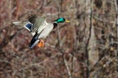 Gräsand Duck Flying Past vinterträden fotografering för bildbyråer