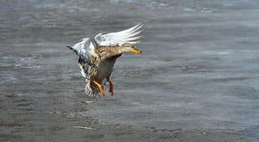 Gräsand Duck Hen Arkivbilder