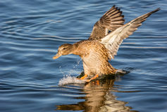 Gräsand Duck Landing Royaltyfri Fotografi