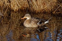 Gräsand Duck Reflecting Royaltyfri Fotografi
