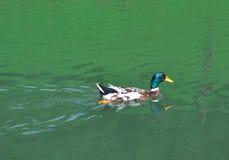 Gräsand Duck Swimming i sjön - mångfärgat fotografi Royaltyfri Fotografi