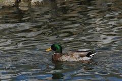 Gräsand Duck Swimming på stranden royaltyfri fotografi