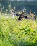 Gräsand Duck Take-Off, gummilackades-invånare, Lamarche, Quebec royaltyfri bild
