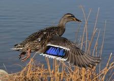 Gräsand Duck Taking Off Royaltyfria Foton