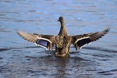 Gräsand Duck Wing Stretch royaltyfri fotografi