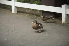 Gräsand och amerikan svarta Duck Hens Arkivbild