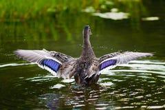Gräsand som fördelar dess vingar och plaskande vatten Arkivbilder