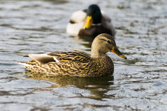 Gräsandandsimning i sjön, en flock Royaltyfri Bild