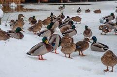 Gräsandet duckar i snön arkivbilder