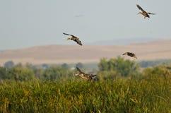 Gräsandet duckar landning i träsket royaltyfri fotografi