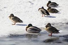 Gräsandet duckar på snön Fotografering för Bildbyråer