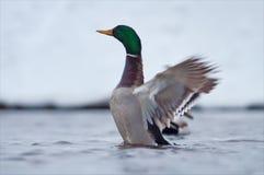 Gräsandet slår hans vingar i vinterkallt vatten royaltyfri fotografi