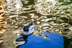 Gräsandet som i stillhet simmar vid vattnet av ett damm i ett naturligt, parkerar, arkivfoton