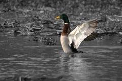 Gräsandhäftig rörelsewngs i vatten Royaltyfri Foto