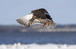 Gräsandkvinnlig - Anasplatyrhynchos i flykten över den Ottawa floden Royaltyfri Fotografi
