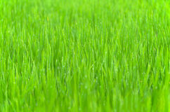 Gräsbakgrund med droppe av dagg Royaltyfria Bilder
