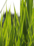 Gräsbakgrundslodlinje Arkivfoton