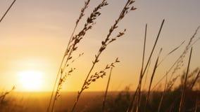 Gräsblad och solnedgång lager videofilmer
