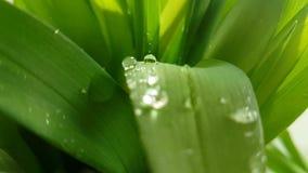 Gräsbladdroppar av vattenultrarapidskytte, arkivfilmer