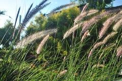 Gräsblomma i solljus Arkivfoton