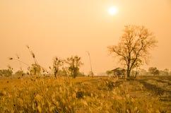 Gräsblomma i torra fält på soluppgångbakgrund i Thailand Royaltyfri Foto