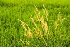 Gräsblomma och solljus Arkivbilder