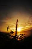 Gräsblomma på solnedgången Arkivfoton