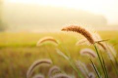 Gräsblommafält och dagg Arkivfoto