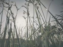Gräsblomman reflekterar Arkivfoton