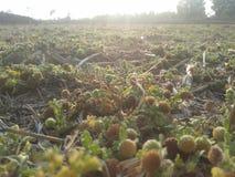 Gräsblommor Fotografering för Bildbyråer