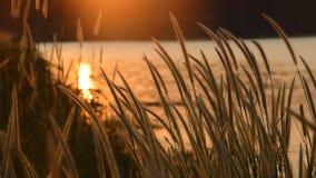 Gräsblomning som blåser från vind i solnedgång på den Wang Bon behållaren Thailand lager videofilmer