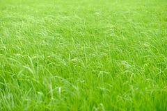 Gräser auf dem Feld, wenn sie in Richtung zum Wind umziehen Stockfotos