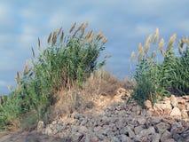 Gräser in den Dünen von Nizzanim, Israel Stockbilder