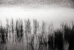 Gräser in Schwarzem u. im Weiß Stockbild