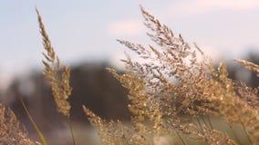 Gräset i det ryska fältet svänger i en stark vind stock video