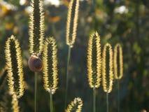 Gräset i solen Snigel på gräs Arkivfoton