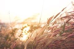 Gräsfält i lantligt med solsken i morgon arkivfoton