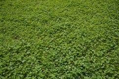 Gräsfält med växt av släktet Trifolium Royaltyfri Bild